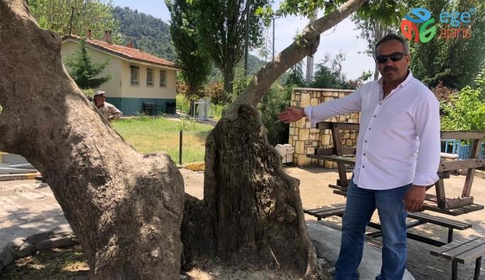 Beşyol Köyündeki Ağaç Koruma Altına Alınmayı Bekliyor