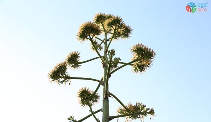 Agave bitkisi Likya'nın başkentinde çiçek açtı