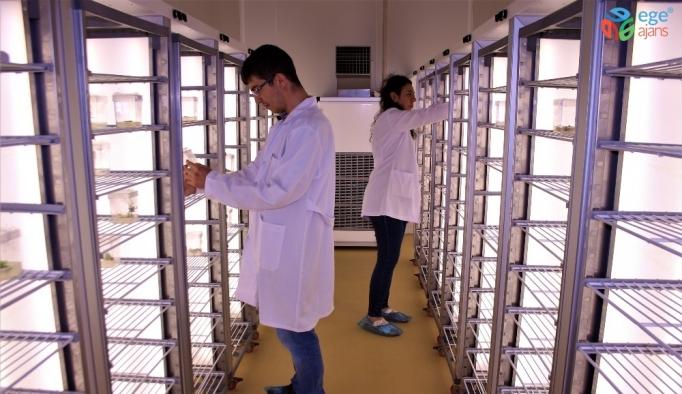 Endemik bitkiler, Türkiye'nin ilk Doku Kültürü Laboratuvarı'nda üretildi