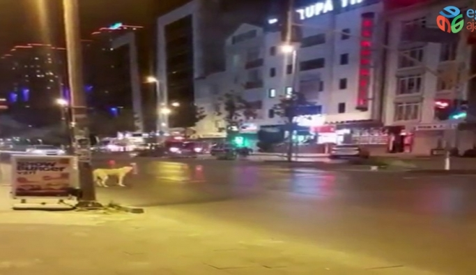 Esenyurt'ta kırmızı ışıkta bekleyen köpek kameralara yansıdı