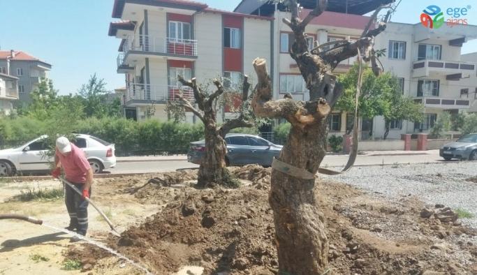 Asırlık zeytin ağaçları yeni yerlerine taşındı
