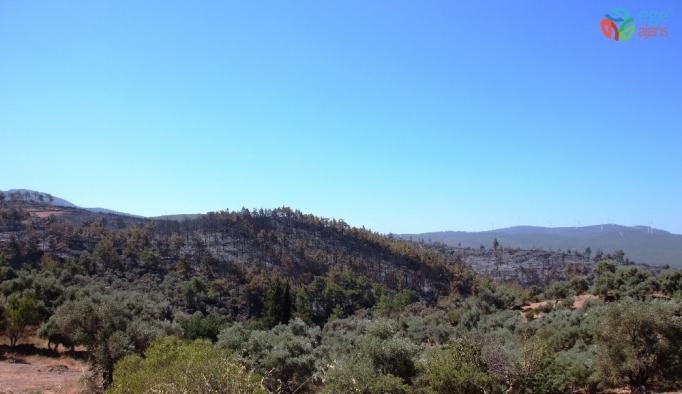 Binlerce çam ağacı, yüzlerce zeytin ağacı yok oldu