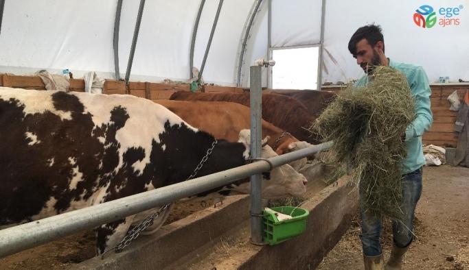 Devlet desteğiyle hayvanları oldu, süt besiciliği yapıyor