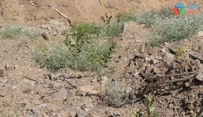 'Süper Meyve' olarak adlandırılan Aronia bitkisi Yusufeli'nde yetiştirilmeye başlandı