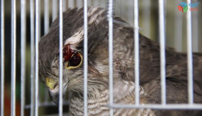 Yozgat'ta gözünden yaralanan atmaca koruma altına alındı