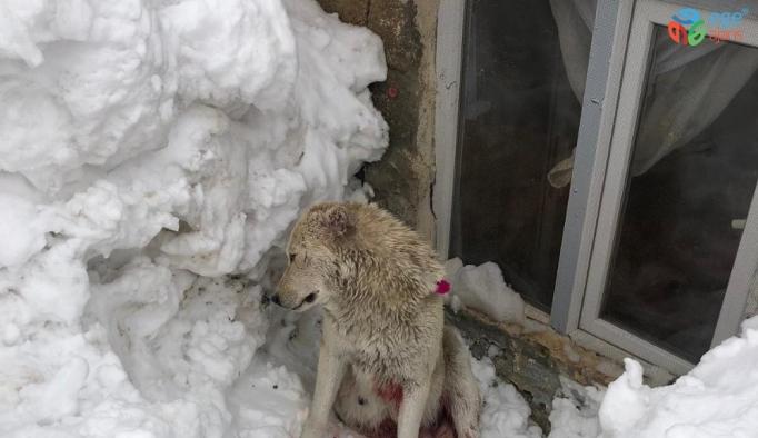 Hakkari'de kurtlar bir köpeği ağır yaraladı