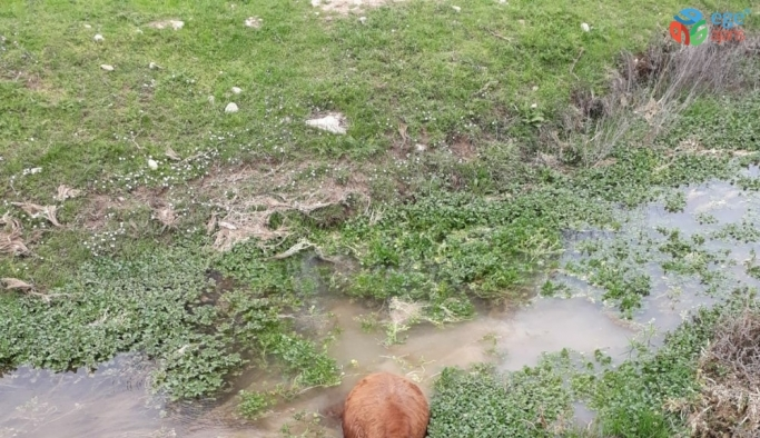 Elazığ'da bataklığa saplanan buzağıyı İmam kurtardı