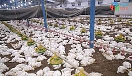 Sakarya'da havalandırma fanları arızalanan çiftlikte 27 bin 500 tavuk telef oldu