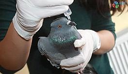 Uçamaz halde bulunan güvercin tedavi altına alındı