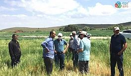 Kulu'da ekili alanlarda cüce virüs hastalığı şüphesi