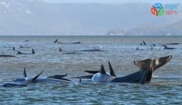 Tazmanya adası açıklarında 90 ölü kılavuz balina bulundu