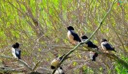 Çekirge ile beslenen sığırcık kuşları çiftçilerin umudu oldu