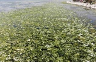 Bostanlı'da deniz marulları görülmeye devam...